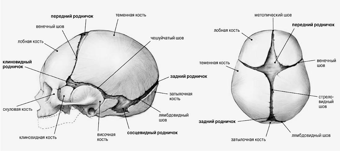 роднички черепа новорожденного